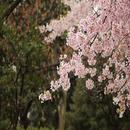 桜の島/レモン探偵