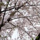 誰のために桜は咲く/富澤タク