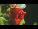 薔薇と雨/布袋寅泰