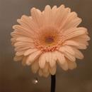 NHK「明日へ」東日本大震災復興支援ソング 花は咲く/花は咲くプロジェクト