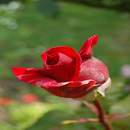 Roses/Maxatmo