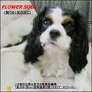 FLOWER SOUL (散りゆく花の中に)/トーマス センデン
