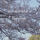 Cerasus/Somei Yoshino