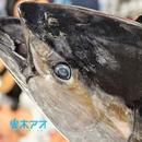 マグロ漁船青空丸/響木アオ