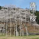薄墨(うすずみ)の桜/冴木彩乃
