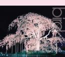 桜/bird