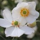 白い花/桜