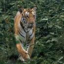 Tiger In The Darkness/RYOTA MATSUZAWA